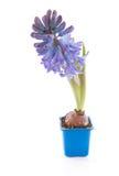 Purple hyacinthus flower Royalty Free Stock Photos