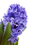 Purple hyacinthus flower in closeup Stock Image