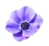 Purple hybrid mona lisa blush flower Royalty Free Stock Images