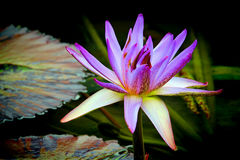 Purple hybrid water lily flower Royalty Free Stock Images