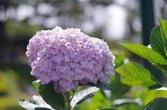 Purple hydrangea. ít`s blue and purple hydrangea, grow and somewhere  in the tropics Royalty Free Stock Image