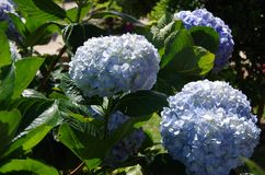 Purple hydrangea. ít`s blue and purple hydrangea, grow and somewhere  in the tropics Stock Image