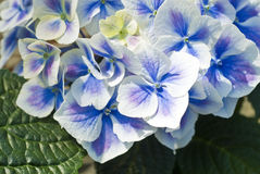 Purple Hydrangea Stock Photography
