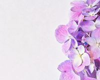 Purple hydrangea with abstract effect. Purple hydrangea flower on white stock photos