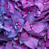 Purple hydrangea background Royalty Free Stock Images