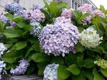 Purple hydrangea. Beautiful Purple hydrangea flower in school Stock Image