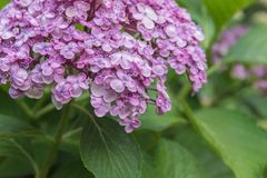Close up of beautiful purple hydrangea flowers blooming in summer garden. Purple hydrangea blossoms blooming in shade garden in summer in the Okanagan Valley Royalty Free Stock Photo