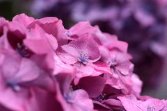 Purple hydrangea blossoms in the rain Royalty Free Stock Photography