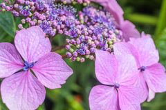 Purple hydrangea blossoms in the rain Royalty Free Stock Photos