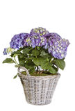Purple Hydrangea flower Stock Photography