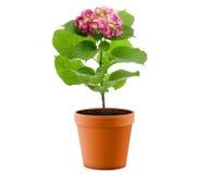 Purple Hydrangea Flower Stock Photo