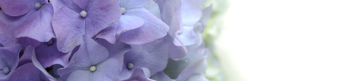 Purple Hydrangea Flower banner on white Background. Royalty Free Stock Photo
