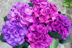 Purple Hydrangea flower. Big bouqet of purple Hydrangea flower Stock Image