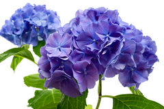 Purple hydrangea flower Stock Photos