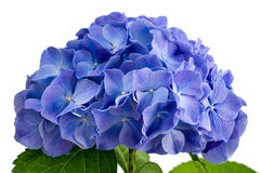 Purple hydrangea flower Stock Photo