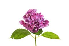 Purple hydrangea flower. And foliage isolated against white Stock Photography