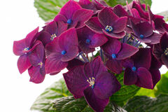 Purple hydrangea flower isolated on white Royalty Free Stock Photography