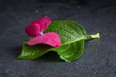 Purple hydrangea flower with a leaf, macro, isolated, with waterdrops, top view. Purple hydrangea flower, macro isolated, with waterdrops, top view, postcard stock photos