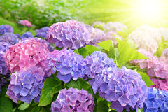 Purple Hydrangea flower Royalty Free Stock Photography