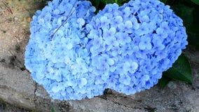 Purple Hydrangea flower stock video