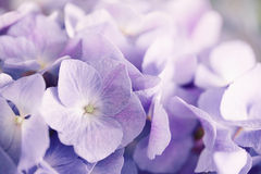 Purple hydrangea flower with solf light Royalty Free Stock Photos