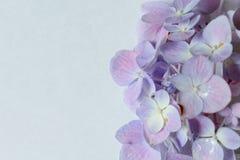 Purple hydrangea royalty free stock image