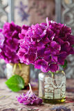 Purple hydrangea flowers Stock Image