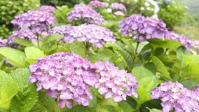 Purple hydrangea flowers Stock Image