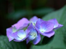 Violet Purple Lacecap Hydrangea Flowers. Closeup of purple blue flowers with gradient colored petals. Blue lacecap hydrangea flowers are slowly starting to turn Stock Photos