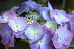 Purple Hydrangea flowers in the garden royalty free stock image