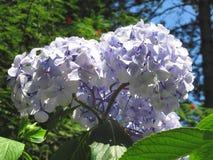 Purple Hydrangea flowers (Hydrangea macrophylla) in a garden in summertime Royalty Free Stock Photos