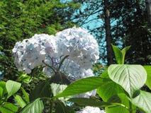 Purple Hydrangea flowers (Hydrangea macrophylla) in a garden in summertime Royalty Free Stock Photography