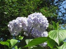 Purple Hydrangea flowers (Hydrangea macrophylla) in a garden in summertime Stock Image