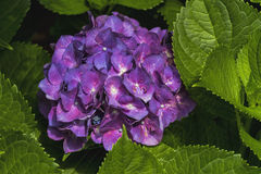 Purple Hydrangea Flowers - Hydrangeaceae. This is a hydrangea blossom cluster getting ready to open. This is a perennial shrub, or bush that is growing in Morgan royalty free stock images