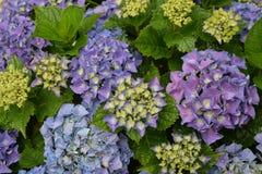 Purple hydrangea in full bloom stock image