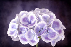 Purple Hydrangea with Grunge Effects Stock Images
