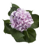 Purple Hydrangea  hortensia. Purple hydrangea flower over white background Stock Images