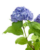 Purple hydrangea isolated Stock Images