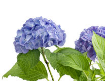 Purple hydrangea isolated Royalty Free Stock Images