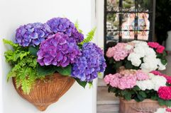 Purple hydrangea in a jar in Positano, Amalfi coast Royalty Free Stock Photography