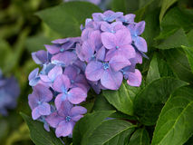purple hydrangea in leaves Royalty Free Stock Photos