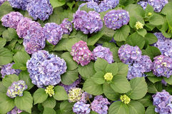 Purple hydrangea macrophylla Royalty Free Stock Image