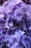 Purple hydrangea macrophylla Royalty Free Stock Photography