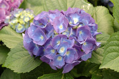 Purple hydrangea macrophylla Royalty Free Stock Images