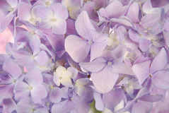 Purple hydrangea macrophylla Stock Photo