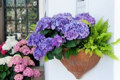 Purple hydrangea in a pot in Positano, Amalfi coast Stock Photo