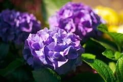 Purple hydrangea  in sunsine especially beautiful. There are lots of purple hydrangea ,they look very beautiful in sunsine Stock Image