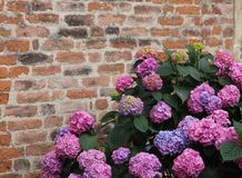 Purple hydrangeas bloomed with flowers with an old red brick wal Royalty Free Stock Images