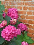 Purple hydrangeas bloomed with tiny flowers with an red brick wa Stock Images