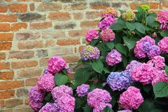 Purple Hydrangeas Bloomed With Tiny Flowers With An Old Brick Wa Stock Photography